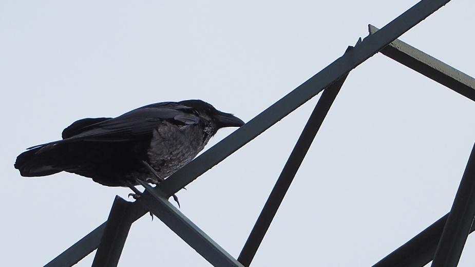 Kruk na krasnoludzkiej konstrukcji. Bynajmniej nie jest to mały ptak.